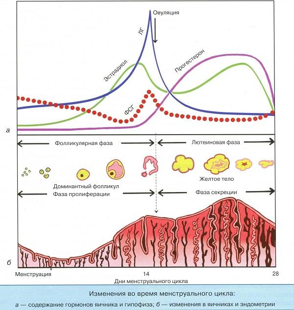 Менструальный цикл подробно
